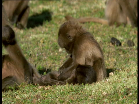 baby geladas groom each other, ethiopia - other stock videos & royalty-free footage