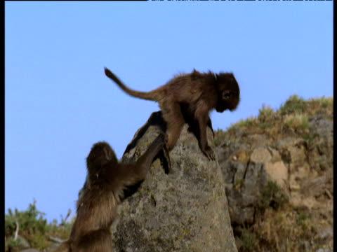 baby geladas play on rocks, ethiopia - chroma key stock videos & royalty-free footage
