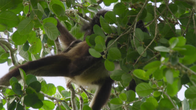 """Baby Geoffroy's spider monkey (Ateles geoffroyi) clings to adult, Calakmul, Mexico"""