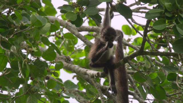 """Baby Geoffroy's spider monkey (Ateles geoffroyi) clings to branches, Calakmul, Mexico"""