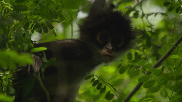 """Baby Geoffroy's spider monkey (Ateles geoffroyi) looks around, Calakmul, Mexico"""