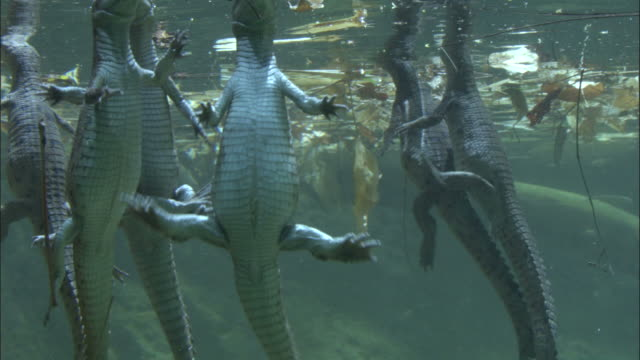 baby gharials at surface, madras crocodile bank trust, india available in hd. - captive animals stock-videos und b-roll-filmmaterial