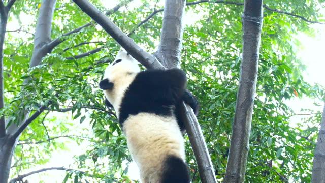 vidéos et rushes de bébé panda géant sur l'arbre - panda