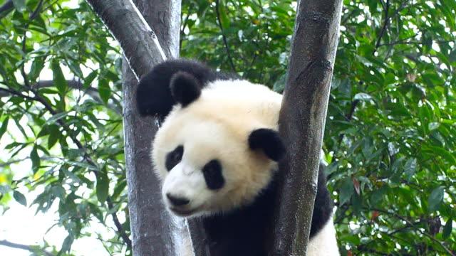 Baby Pandabären auf dem Baum
