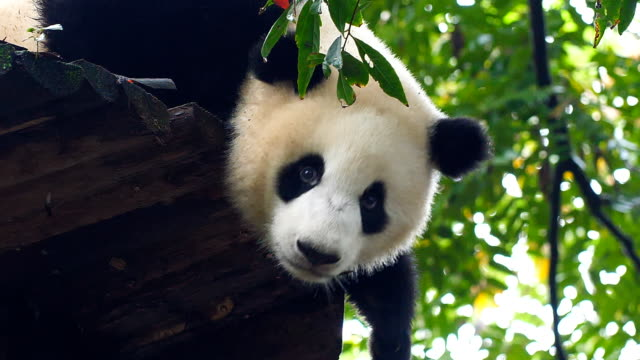 baby giant panda on the tree - bear cub stock videos and b-roll footage
