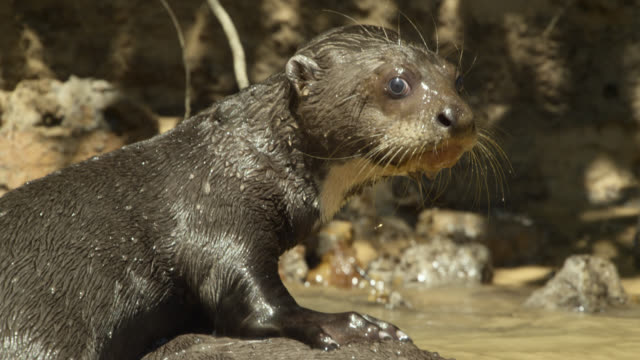 baby giant river otter (pteronura brasiliensis) clambers onto adults back then dives back into river. - otter stock videos & royalty-free footage
