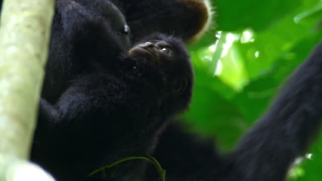 baby gibbon (hylobatidae) playing with its mother in sumatra island, indonesia - creazione animale video stock e b–roll