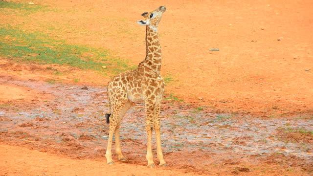 vídeos de stock, filmes e b-roll de bebê girafa - girafa
