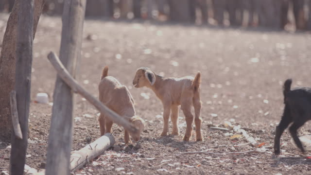 baby goat / africa - ranch stock videos & royalty-free footage