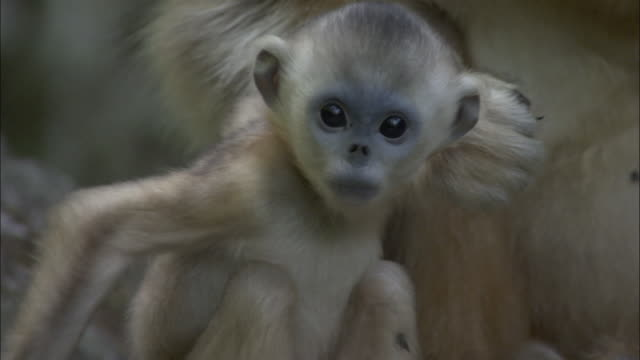Baby golden snub nosed monkey scratches itself then leaps towards camera, Foping, China