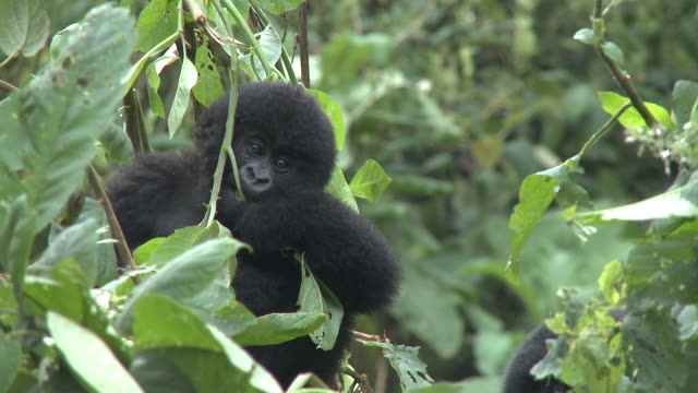 a baby gorilla bites at a leafy branch. available in hd. - parc national des volcans rwanda stock videos and b-roll footage