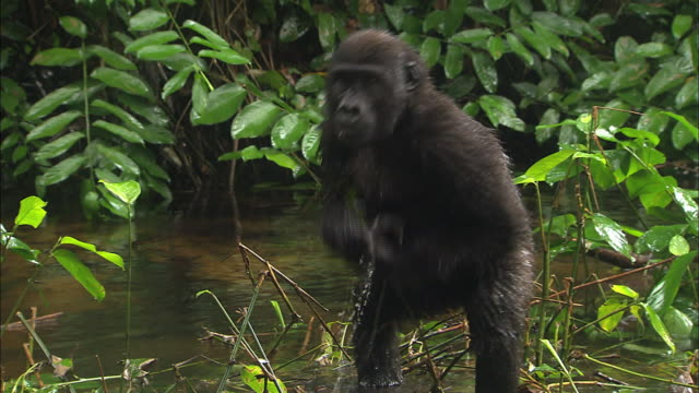 baby gorilla drumming its chest with both hands, gorilla orphanage, lesio-louna wildlife reserve, congo, africa - slug stock videos & royalty-free footage