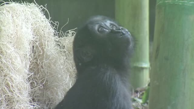 Baby gorilla Nayembi returned to Lincoln Park Zoo after a severe facial cut in February Baby Gorilla Nayembi Eating In Exhibit at Lincoln Park Zoo on...