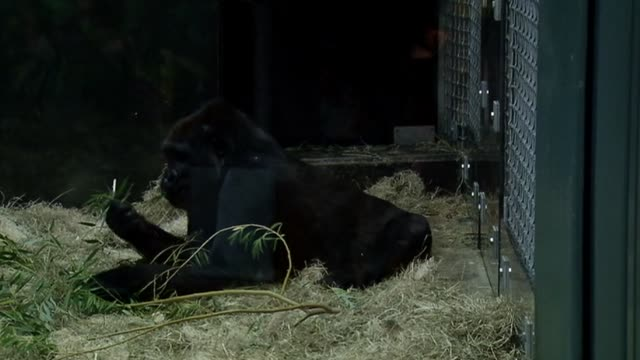 Baby gorilla Nayembi returned to Lincoln Park Zoo after a severe facial cut in February Baby And Mother Gorilla Play In Exhibit at Lincoln Park Zoo...