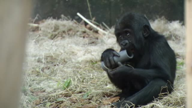 Baby gorilla Nayembi returned to Lincoln Park Zoo after a severe facial cut in February Baby Gorilla Nayembi Plays In Exhibit at Lincoln Park Zoo on...