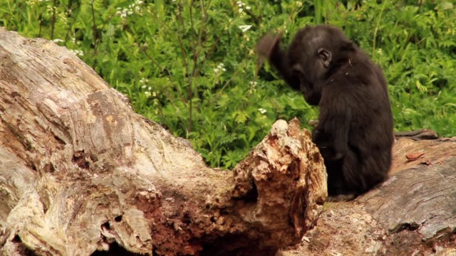 Baby Gorilla Playing on Fallen Tree in Enclosure