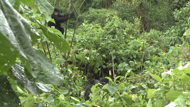 A baby gorilla plays in the branches of a tree as its parents rest below. Available in HD.