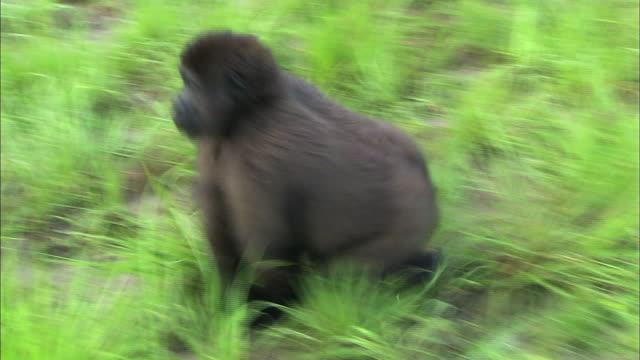 baby gorilla rolling on the grasses of gorilla orphanage, lesio-louna wildlife reserve, congo, africa - gorilla stock-videos und b-roll-filmmaterial