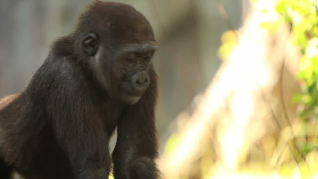 Baby Gorilla (Full HD)