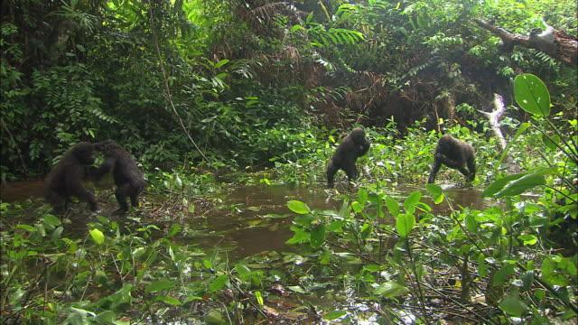 vídeos y material grabado en eventos de stock de baby gorillas playing in the waterside of gorilla orphanage, lesio-louna wildlife reserve, congo, africa - golpear