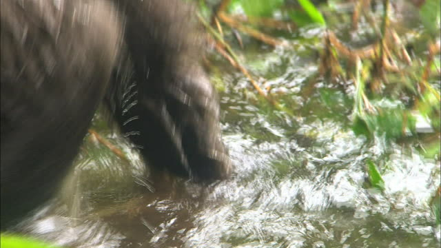 baby gorillas playing in the waterside of gorilla orphanage, lesio-louna wildlife reserve, congo, africa - 水遊び点の映像素材/bロール