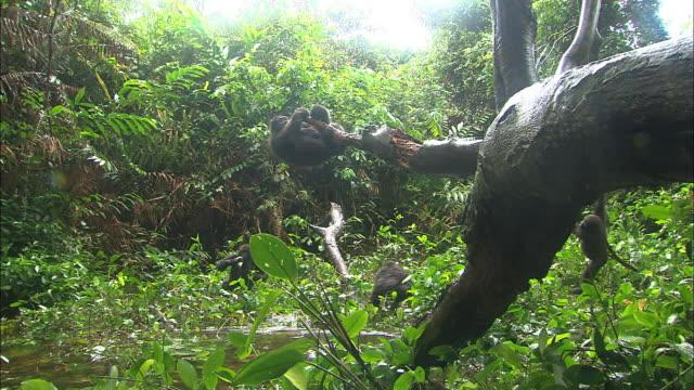 baby gorillas playing in the woods of gorilla orphanage, lesio-louna wildlife reserve, congo, africa - gorilla stock-videos und b-roll-filmmaterial