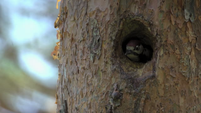 baby great spotted woodpecker putting its head out the nest in uljin geumgang pine forest / uljin-gun, gyeongsangbuk-do, south korea - beak stock videos & royalty-free footage