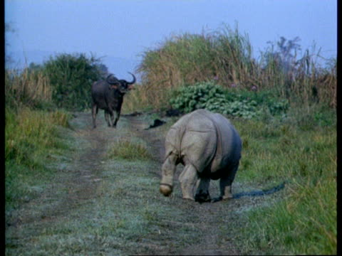 vidéos et rushes de ms baby greater one-horned rhinoceros sniffing track, indian buffalo in background, india - innocence
