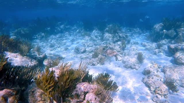 Baby Grünen Meeresschildkröte im karibischen Meer in der Nähe von Akumal Bay - Riviera Maya / Cozumel, Quintana Roo, Mexiko