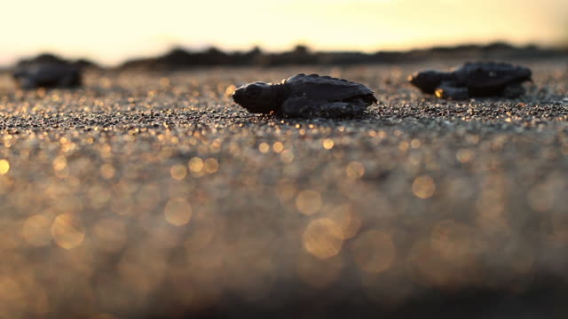 Baby Green Sea Turtles make first journey to the Ocean at Sunset