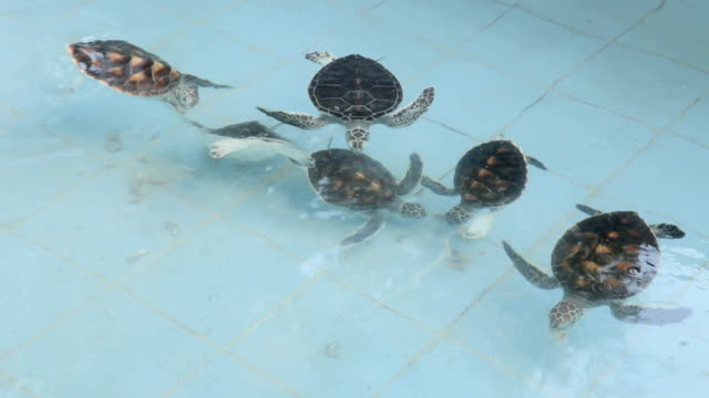 Baby green turtles moving