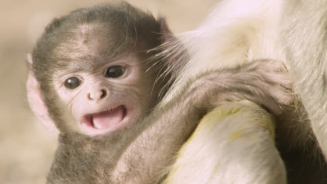 baby grey langur monkey (semnopithecus dussumieri) calls, jodhpur, india - young animal video stock e b–roll
