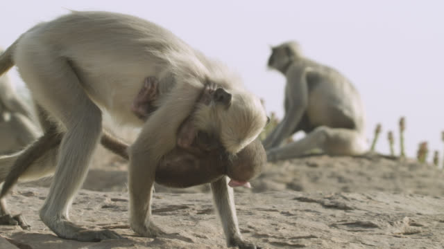 baby grey langur monkey (semnopithecus dussumieri) clings to adult, jodhpur, india - animal family stock videos and b-roll footage