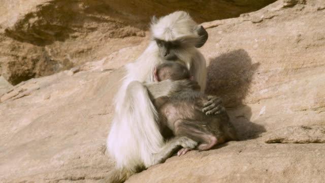 Baby grey langur monkey (Semnopithecus dussumieri) clings to juvenile, Jodhpur, India