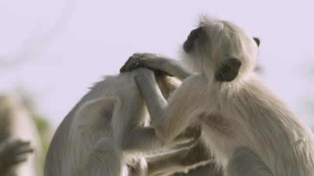 baby grey langur monkeys (semnopithecus dussumieri) play fight, jodhpur, india - gott stock-videos und b-roll-filmmaterial