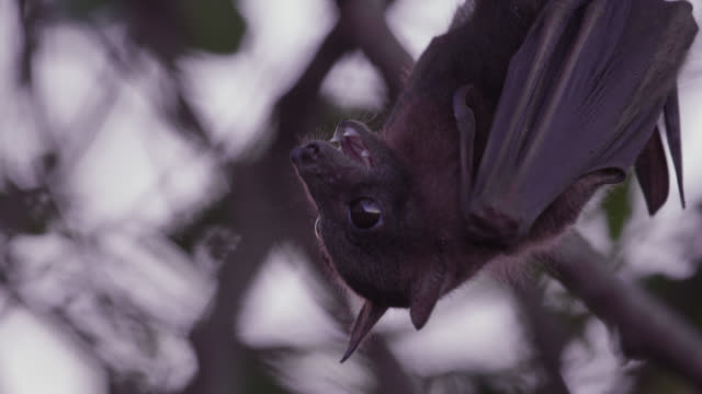 Baby grey-headed flying fox calls