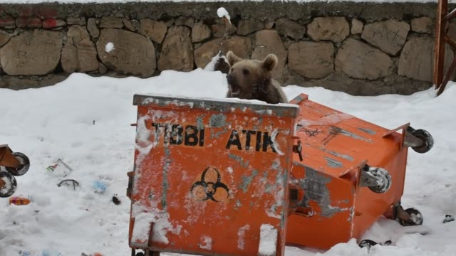 vidéos et rushes de a baby grizzly bear which did not hibernate searches for food around a trash container in inonu neighbourhood in sarikamis district of turkey's... - ours brun