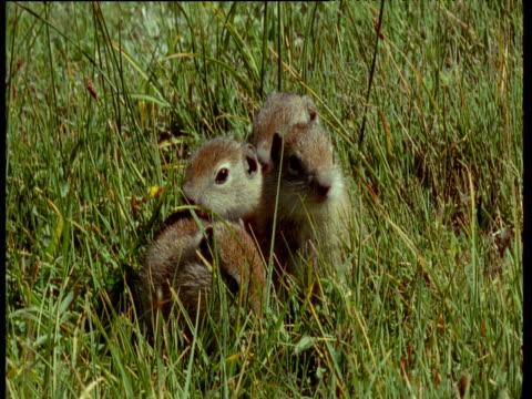 vídeos y material grabado en eventos de stock de baby ground squirrels dive into burrow at same time and get stuck in entrance, montana - madriguera