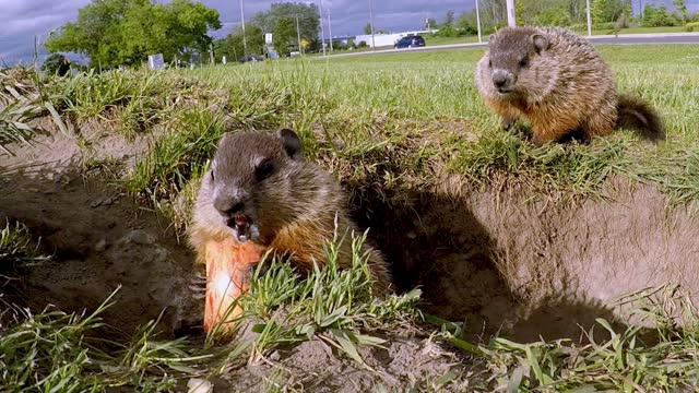 baby groundhogs are so cute that they resemble small stuffed toys more than they do wild animals. these baby groundhogs had just emerged from their... - take that stock videos & royalty-free footage