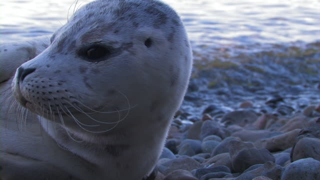 baby harbor seal - seal animal stock videos and b-roll footage