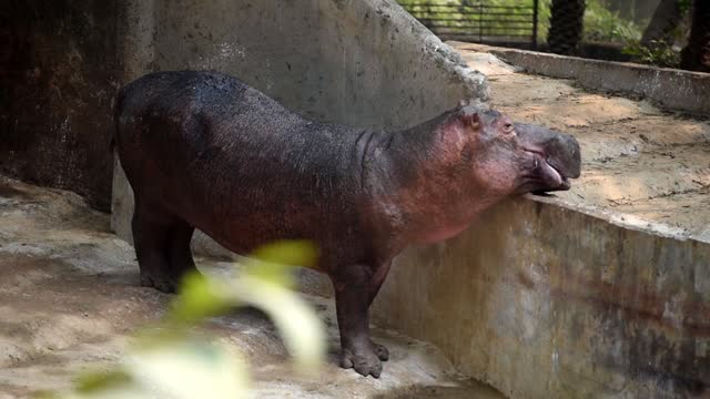 baby hippopotamus inside an enclosure at assam state zoo, on february 14, 2021 in guwahati, india. the assam state zoo-cum-botanical garden reopened... - animal head stock videos & royalty-free footage