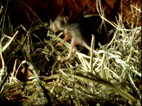 Baby hopping mouse falls over as it clambers in nest, Northern Territory