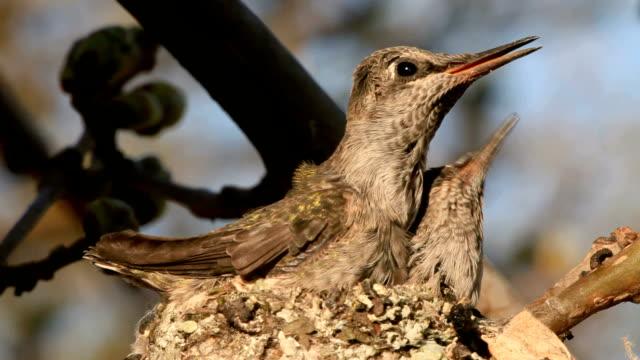 vídeos de stock e filmes b-roll de bebé colibris - bico