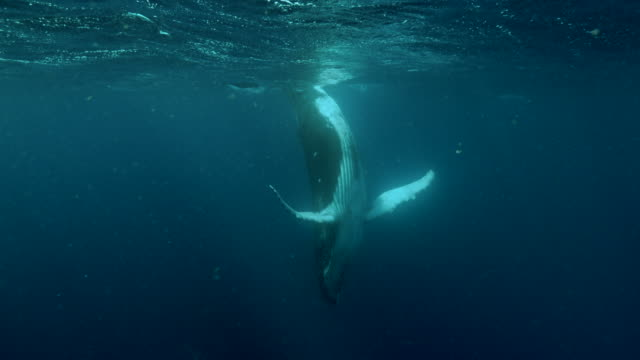 baby humpback whale standing upside down undersea near the equator - cetacea stock videos & royalty-free footage