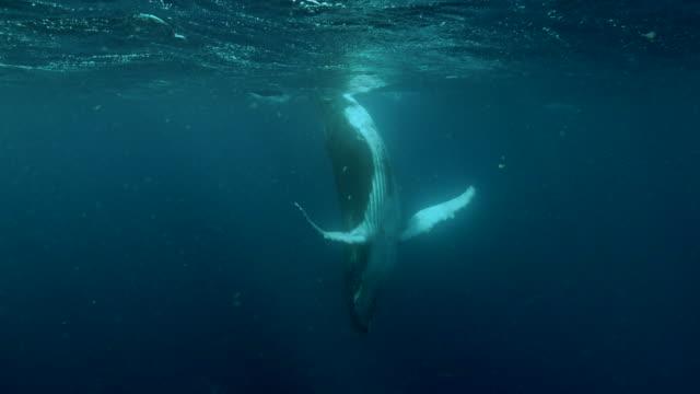 vidéos et rushes de baby humpback whale standing upside down undersea near the equator - underwater
