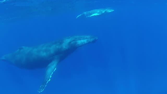 ベビーザトウクジラスウィミングの面で、母