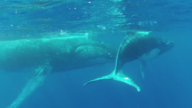 Baby Humpback Whale swimming  at the surface with its mother