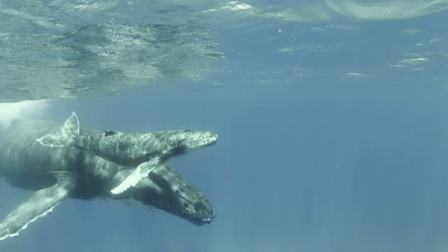 baby humpback whale swimming  at the surface with its mother - humpback whale stock videos & royalty-free footage