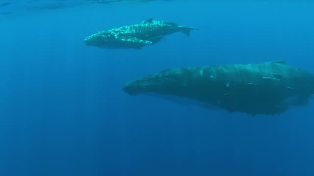 stockvideo's en b-roll-footage met baby humpback whale swimming  below  the surface with its mother - walvis