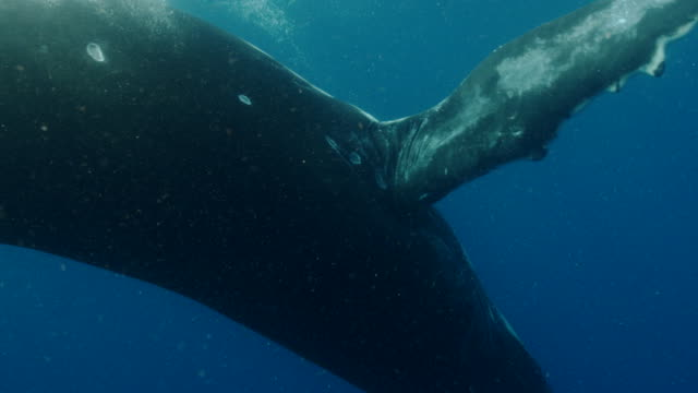 baby humpback whale swimming in the ocean near the equator - lobtailing stock videos & royalty-free footage
